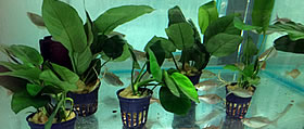 Aquatic Plants Potted